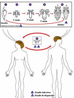 tratamiento de pediculosis significado