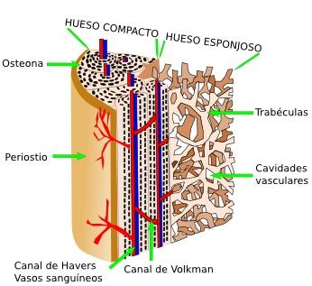 6ce14ce1d4d Al contrario que el cartílago, el hueso es un tejido fuertemente irrigado  por el sistema sanguíneo.