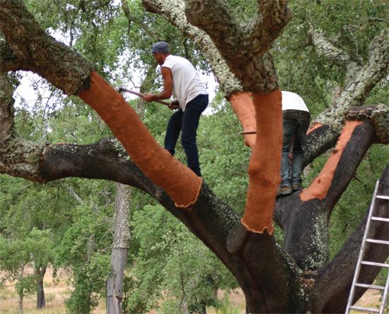 Quercus suber  Wikipedia