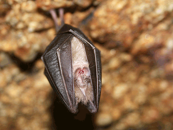 Veliki podkovnjak (Rhinolophus ferrumequinum)