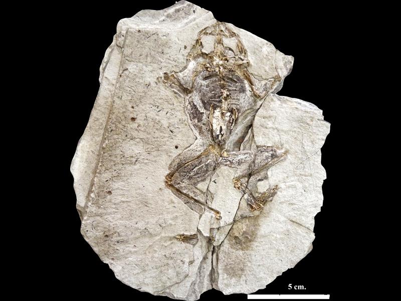 Col·lecció de vertebrats fòssils no mamífers - imatge 0