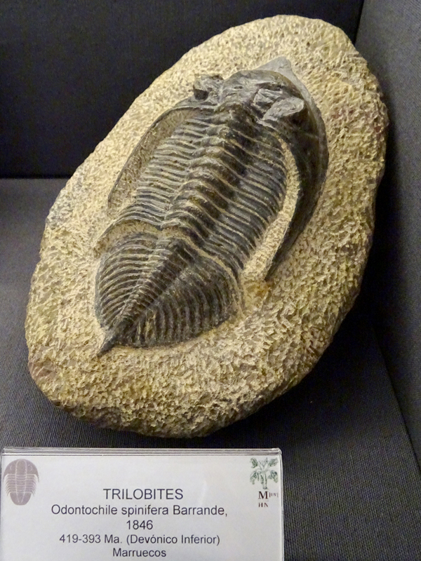 Colecció de Fòssils del Devonià Espanyol - imatge 0