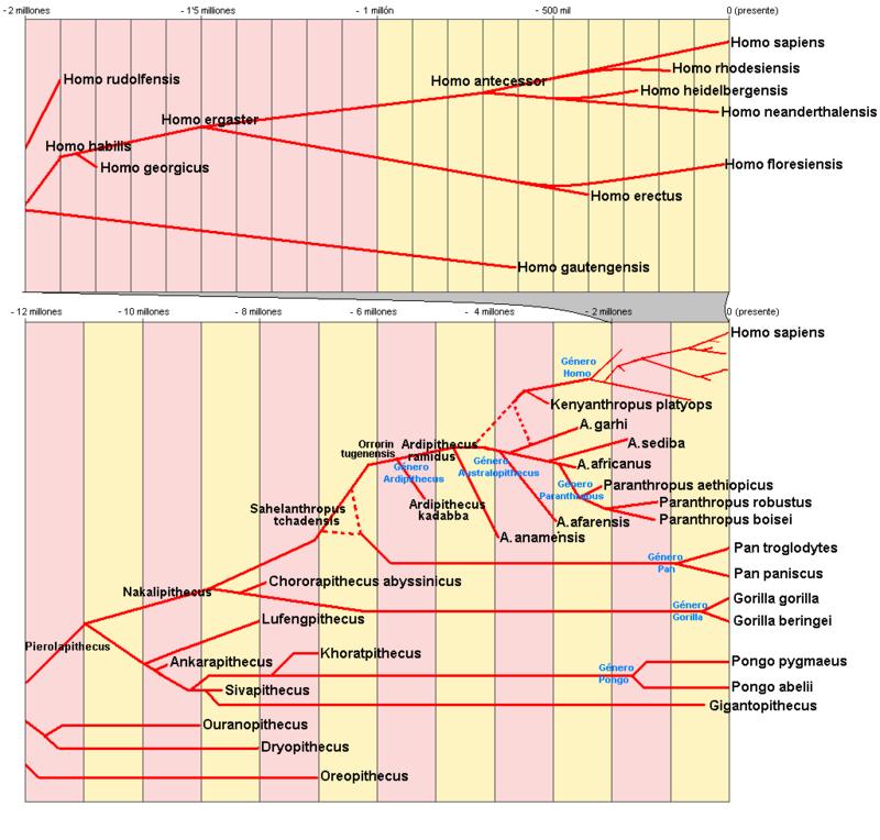 Arbre filogenètic dels Homínids. Foto Wikipedia