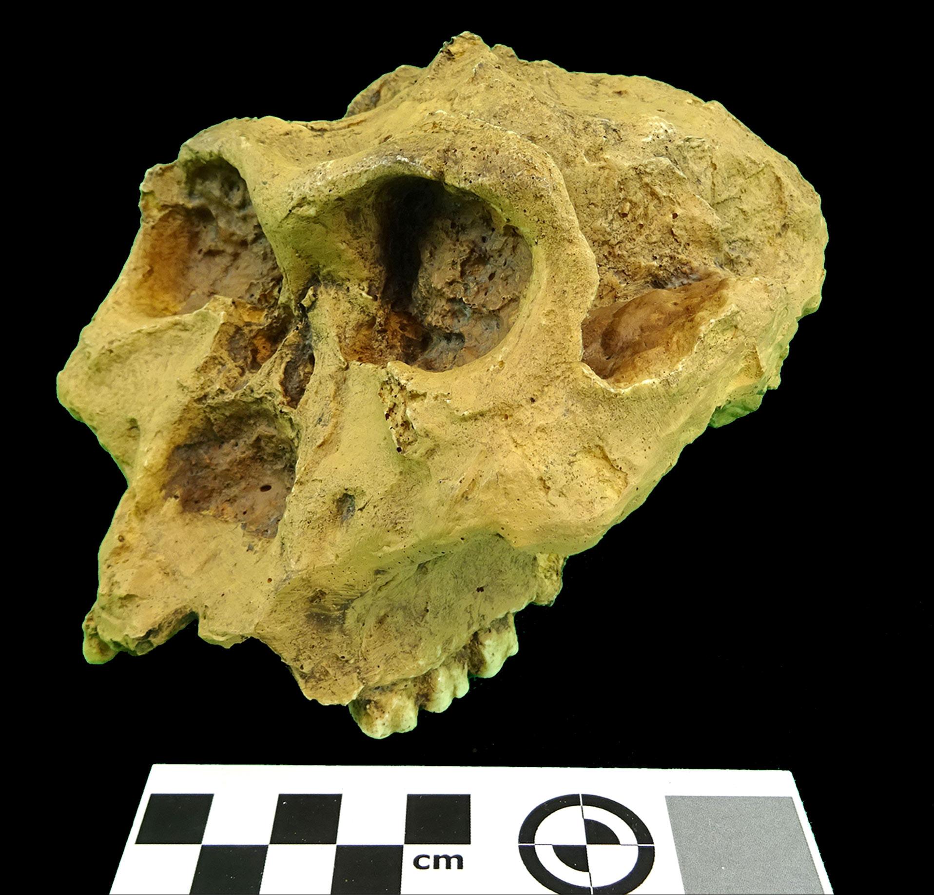 Rèplica en resina de Paranthropus robustus (MGUV 22818) del MUVHN