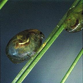 Eurycercus sp.